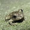 Iberian Midwife Toad,Sapo-parteiro-comum