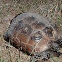 Texas Gopher Tortoise