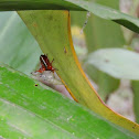 Three spot grass yellow pupa
