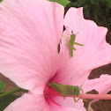 Grasshopper and baby on hibiscus.