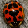 Asian Ladybug (smiley face pattern)