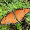 Danaid Eggfly - female
