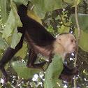 Kapuziner Äffchen