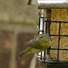 orange crowned warbler