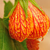 abutilon or chinese lantern