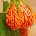 abutilon or chinese lantern