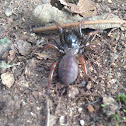 Trapdoor spider (female)