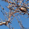 Eurasian Bullfinch, male