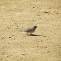 Sand Lark