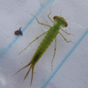 Familiar bluet (larvae)