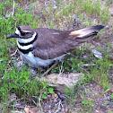 Killdeer (on a nest)