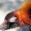 Large flying fox Pteropus vampyrus