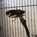Male Pin- tailed Whydahs