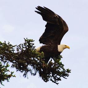 Bald Eagle Taking Flight by Linda Labbe - Animals Birds ( bird, flying, blue sky, bald eagle, trees )