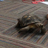 Morafka's desert tortoise