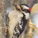 Downy Woodpecker ♂