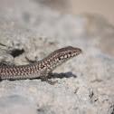 Wall lizard