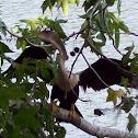 Anhinga; Snakebird