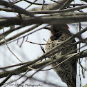 """Northern """"Yellow-shafted"""" Flicker"""