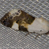 Pale Shoulder Moth