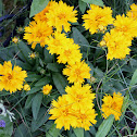 tickseed or calliopsis