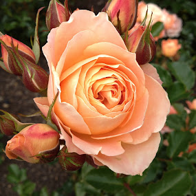 Apricot Rose and Buds by Dawn Simpson - Flowers Flower Buds ( rose, bush, beauty, apricot, buds,  )