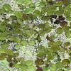 Floating aquatic plant