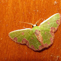 Ecuador Emerald Moth