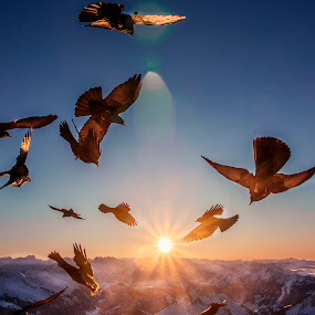 like a bird by Christian Diboky - Animals Birds ( bird, flying, dohle, mountains, winter, sunset, snow, säntis, alpine chough, birds, alps, , cold, fly, flight )