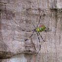 Jorō Spider , 上臈蜘蛛