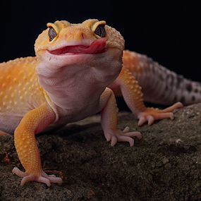 Slurpppsss.... by Sugeng Sutanto - Animals Reptiles ( gecko )