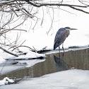 Great Blue Heron - ice fishing