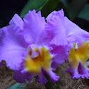 Orquidea Hibrida