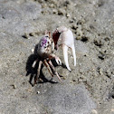 Atlantic Sand Fiddler Crab