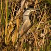 Socozinho(Striated Heron)