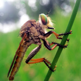 Robberfly by Abdul Aziz - Instagram & Mobile Android (  )