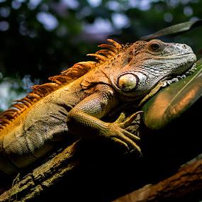 shoot me! by Darko Kovac - Animals Reptiles ( macro, zoo, lizzard, green, iguana, branch, reptile, close-up, animal )