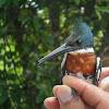 Martín pescador,Green Kingfisher