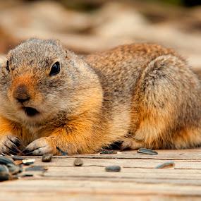 Chippy by Kimberly Sheppard - Animals Other Mammals ( mammals, animals, chipmunk, seeds, rodent )