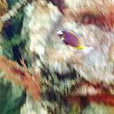Powder Brown Surgeonfish
