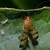 Scorpionfly -Family Panorpidae-female
