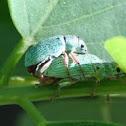 Weevil (Silberner Grünrüssler)