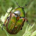Emerald Euphoria Beetle