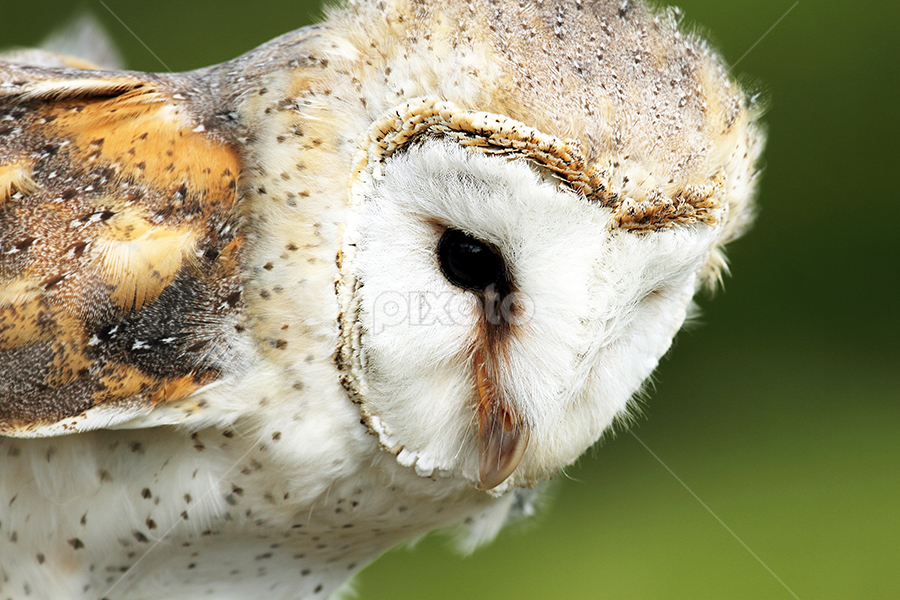 Barn owl  by Debbie Aird - Animals Birds ( bird, barn, avian, owl, n owl, feathers, speckled, close up, animal )