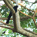 The Greater Racket-tailed Drongo