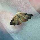 Small Twisted Moth