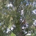 Eucalyptus. Eucaliptus