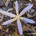 Cretan Colchicum