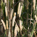 Bristly Foxtail