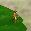 wasp-mimic fly